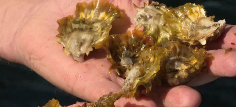 C.L. Ky donne des couleurs aux huîtres de Thau ! (01/06)